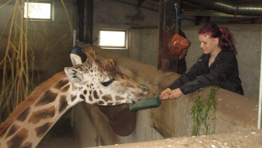 Zenia fodrer giraffer
