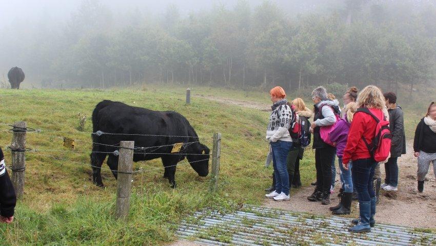 Gruppen betragter en græssende ko